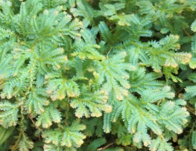 レインボーファンの葉の画像