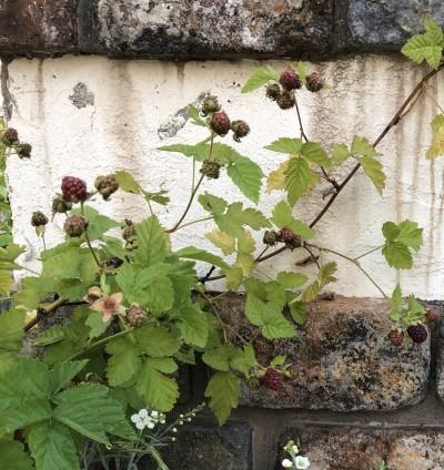 鉢植えのラズベリーの画像