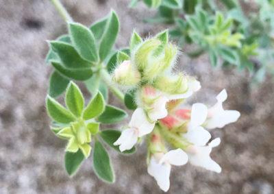 ロータス ブリムストーンの花の画像