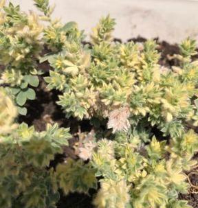 ロータスブリムストーンの葉の枯れた画像