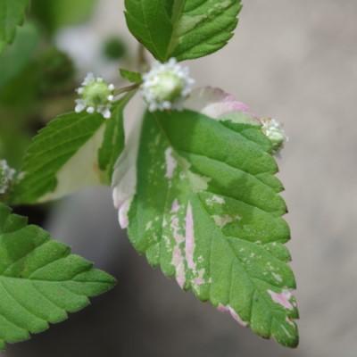 リッピア フリップフロップの葉の画像