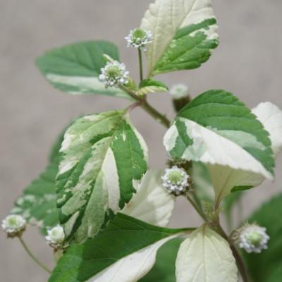 リッピア フリップフロップの花の画像
