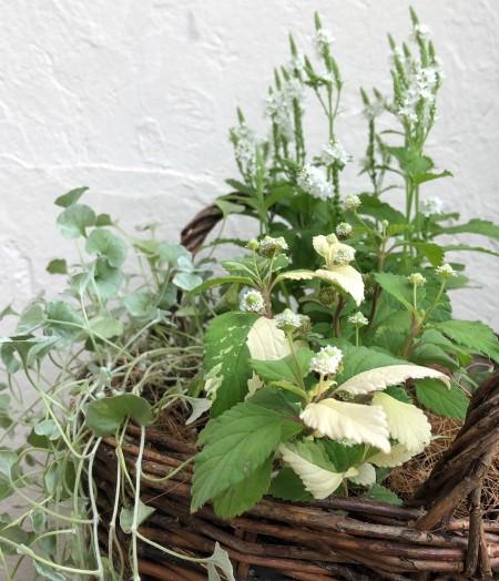 リッピア フリップフロップの鉢植え画像