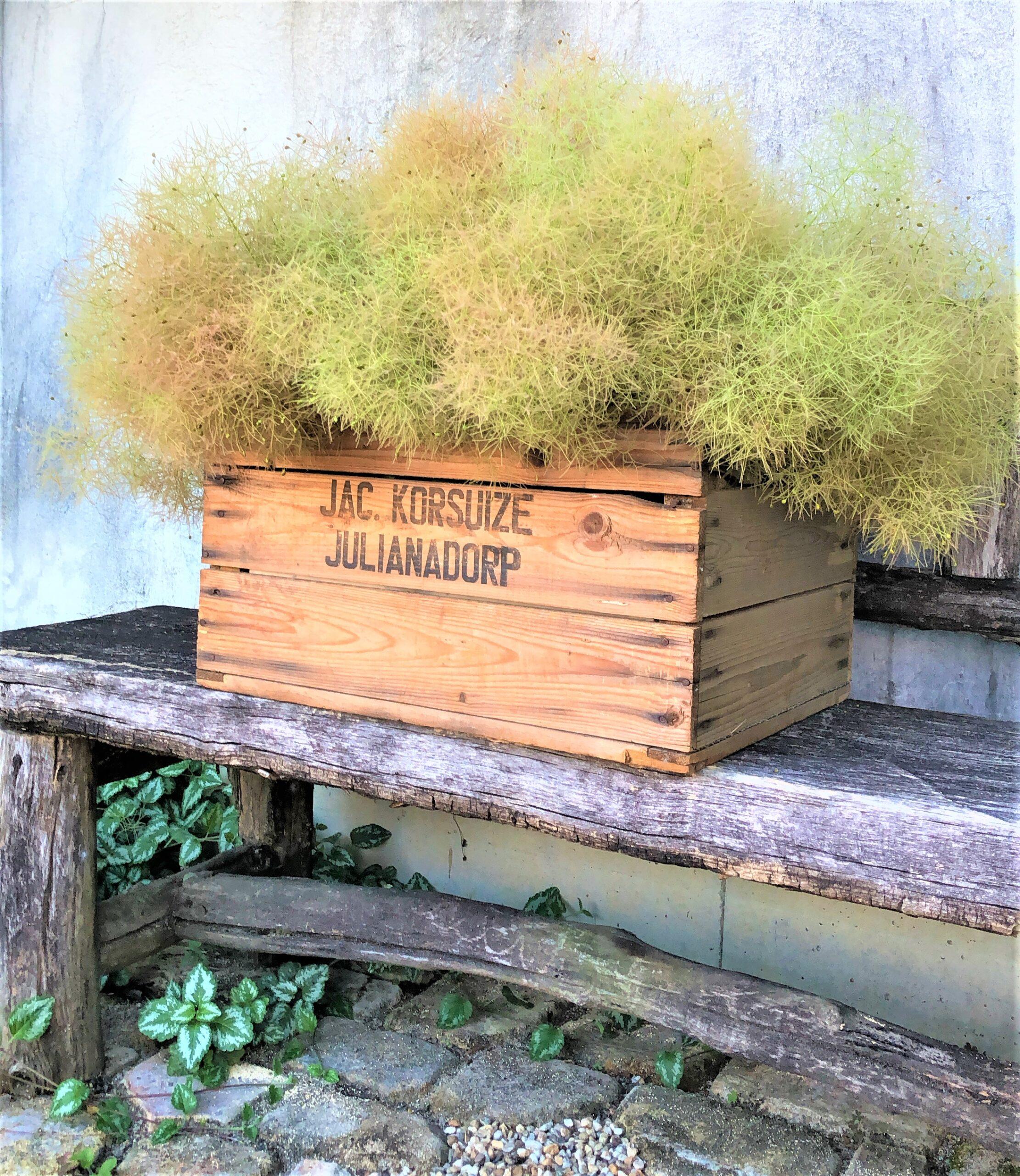 スモークツリーを木箱に入れた画像