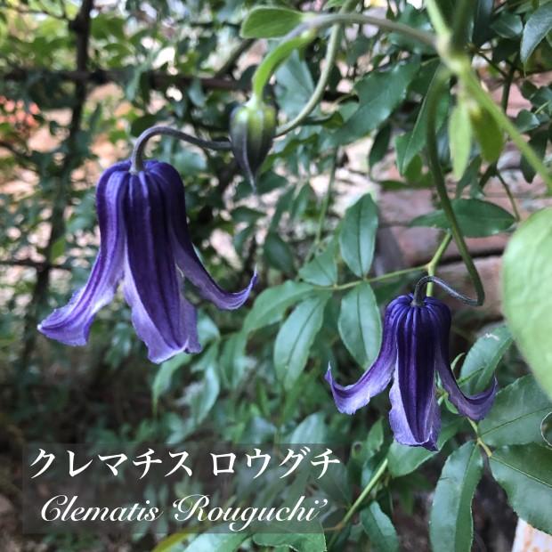 クレマチスロウグチの花の画像