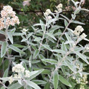 ブッドレアシルバーアニバーサリーの花の画像