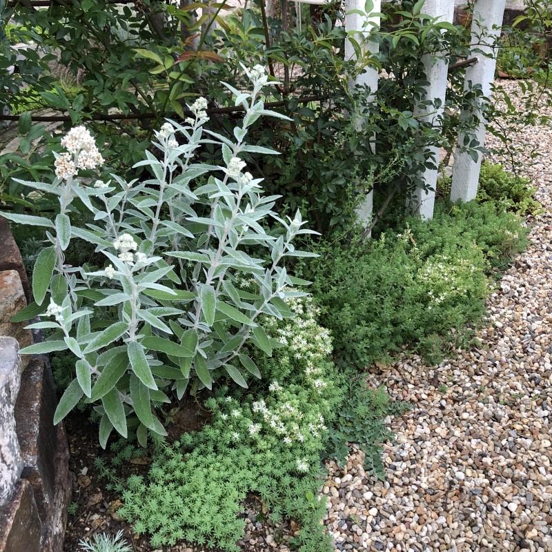 ブッドレアシルバーアニバーサリの我が家の植栽の画像